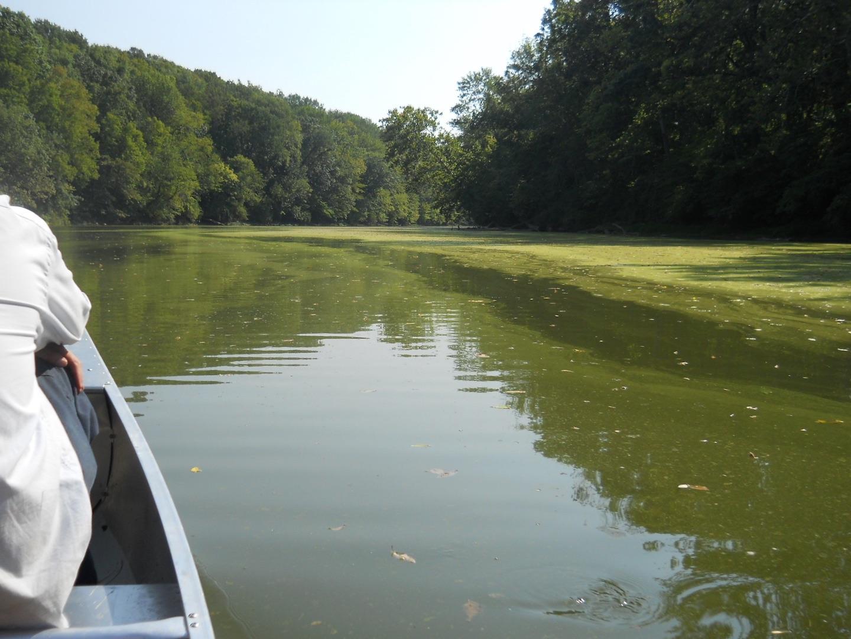 Toxic Algae on the river