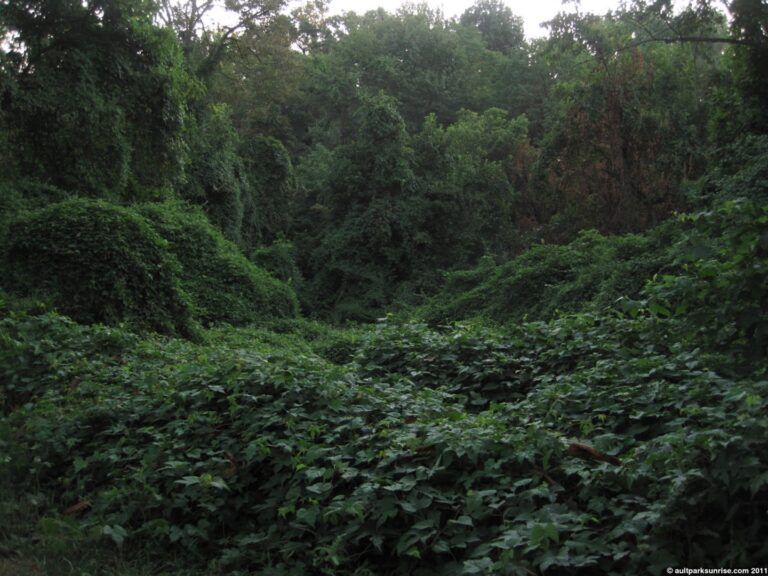Forest covered in invasive species